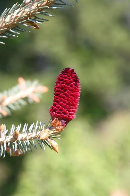 Picea likiangenis var. purpurea