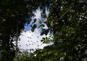 An auspicious sign of good fortune, Greater Hornbills fly overhead.