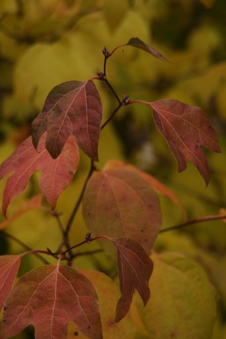 Lindera triloba autumn  foliage.JPG