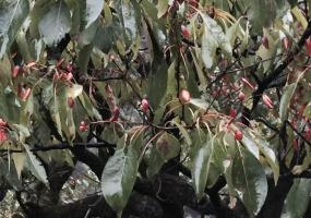Emmenopterys henryi foliage