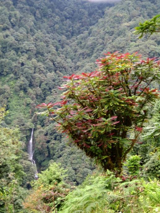 Mahonia-nepaulensis-Sikkim-Dan-Hinkley