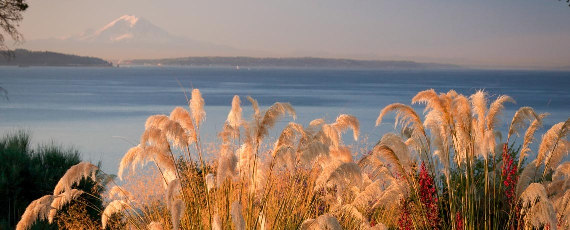 Cortaderia fulvida, Puget Sound and Mt. Rainer, Windcliff