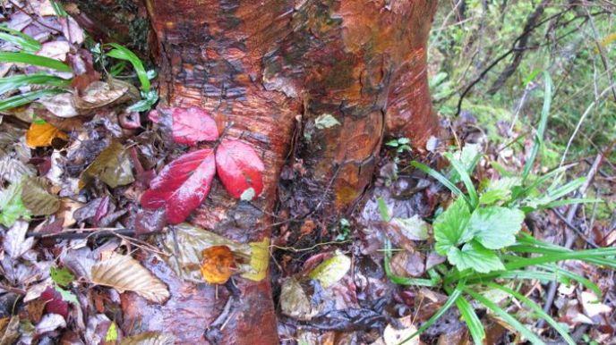 Acer griseum Hubei
