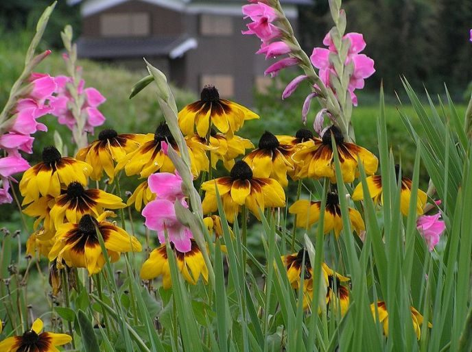 flower of Rudbeckia with Gladiolus