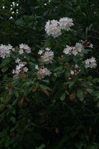Luculia intermedia.jpg