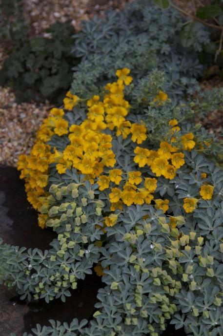 Tropaeolum polyphyllum.CR2