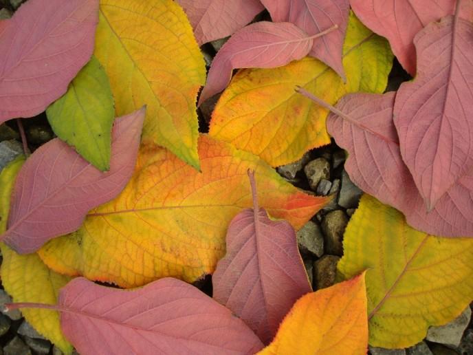 Hydrangea aspera Purple Leaf