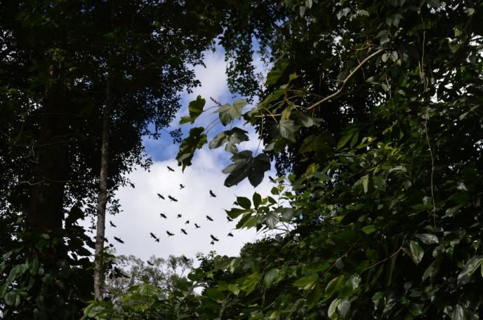 An auspicious sign of good fortune, Greater Hornbills fly overhead.