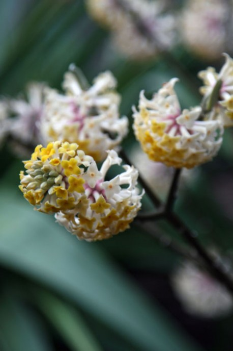Edgeworthia-chrysantha-Dan-Hinkley