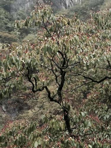 Emmenopterys henryi tree