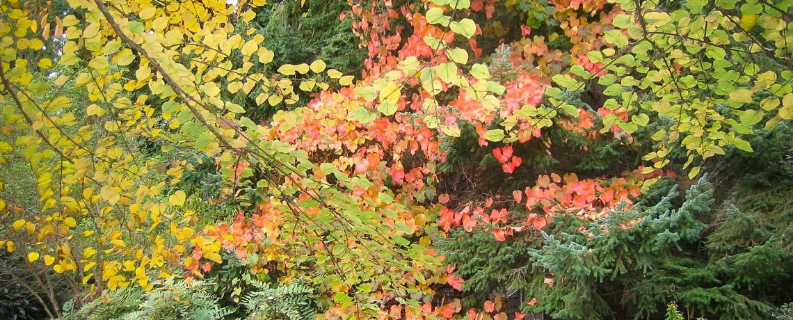 Colorful Fall foliage of Vitis coignetiae at Windcliff