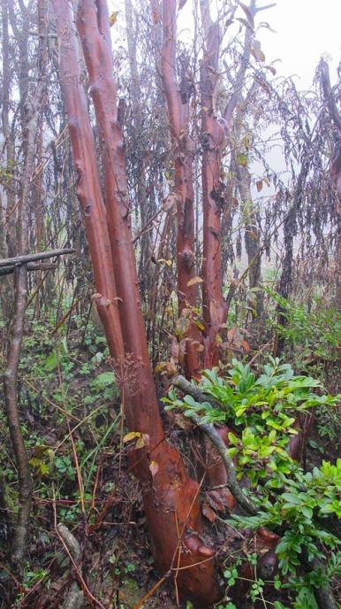 Rare maple tree in China.