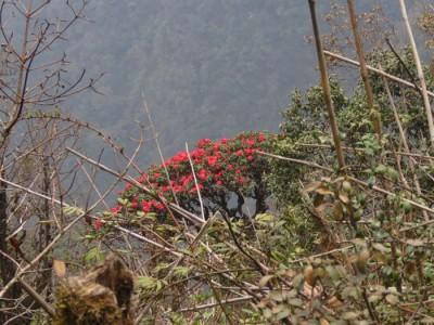Rhododendron Fanxiphan-Dan-Hinkley